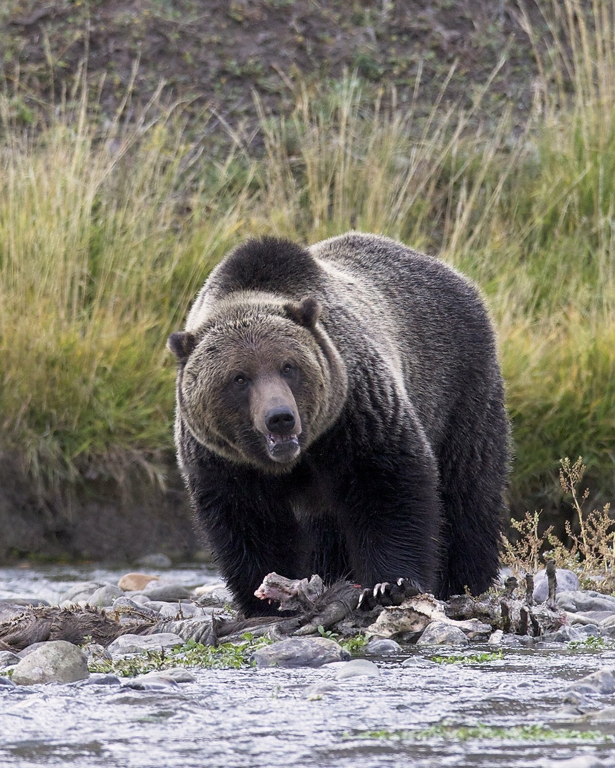 Grizzly in Stream canvas print