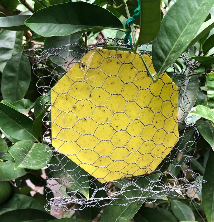 Citrus Gall Wasp and Insect Trap - Double Sided Sticky Paper