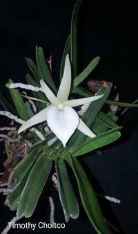 Angraecum rutenbergianum [originally didieri]
