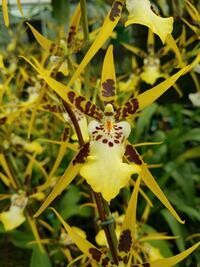 Brassidium Urchinesque 'Standing Tall 'AM/AOS