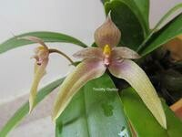 Bulbophyllum Goody Goody (guttulatum x dearei)