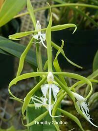Epidendrum ciliolare