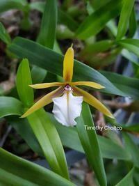 Dinema polybulbon [Epidendrum]