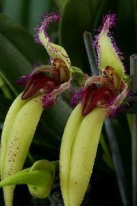 Bulbophyllum fascinator f. semi-alba