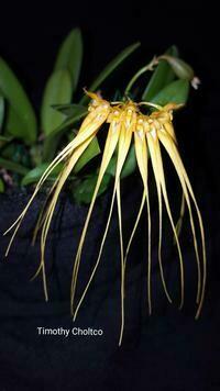 Bulbophyllum miniatum [tingabarinum / pecten-veneris] (mounted)