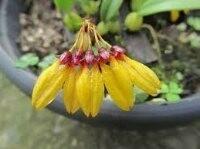 Bulbophyllum retusiusculum