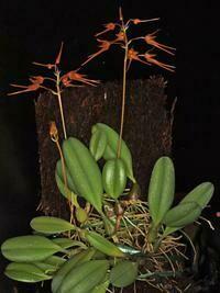Bulbophyllum taiwanensis