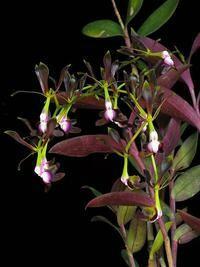 Epidendrum melanoporphyreum