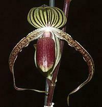 Paphiopedilum (Lady Rothschild x gigantifolium)