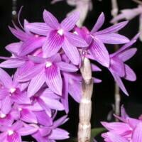 Dendrobium Gonzayak