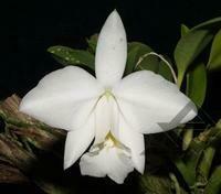 Cattleya pumila f. alba x C. pupils [Laelia]
