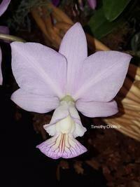 Cattleya nobilior  f. amaliae