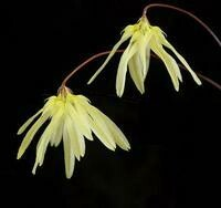 Bulbophyllum purpurescens