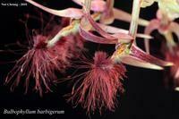 Bulbophyllum barbigerum (Mounted)