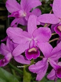 Guarianthe bowringiana [syn. Cattleya]