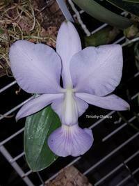 Cattleya walkeriana f. coerulea x sib