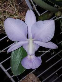 Cattleya walkeriana f. coerulea ['O. E.' x ('Edward' x Manhattan Blue')]