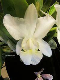 Cattleya walkeriana f. alba x sib