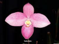Phrag. Barbara LeAnn (fischeri x besseae)