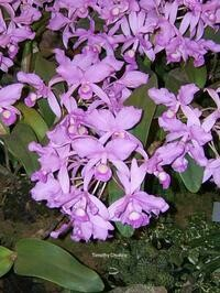 Guarianthe skinneri 'Waldor' AM/AOS [syn. Cattleya]