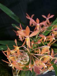 Vanda (Ascocentrum garayi  x Neofinetia falcata). [as Vanda Twinkle].