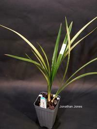 Cymbidium ensifolium 'Ba Bao Qi Zhen'