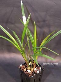 Cymbidium ensifolium  'Li Shan Shi Zi'