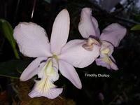 Cattleya nobilior f. coerulea