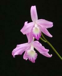 Cattleya fidelensis x sib [Laelia]