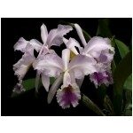 Cattleya jenmanii var. coerulea 'Blue Moon' x self