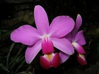Cattleya violacea 'Muse' FCC/AOS