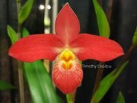 Phragmipedium Rouge Bouillon