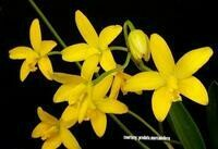 Laelia briegeri [Kew = Cattleya]