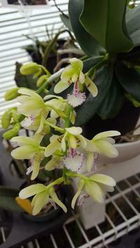 Sedirea japonica [KEW = Phalaenopsis]