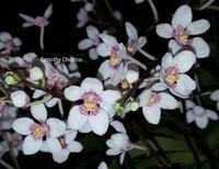 Sarcochilus (Wally's White x Spotted Fox)