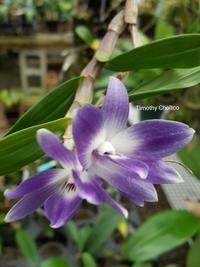 Dendrobium victoria-reginae x sib [Inquire for ordering]