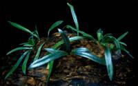 Microsorum thailandicum