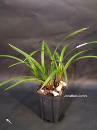 Cymbidium ensifolium 'Bao Dao Xian Nu'