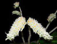 Dendrobium secundum f. album