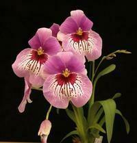 Miltoniopsis Morris Chestnut 'H171'