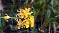 Cohniella / Trichocentrum species [as Oncidium cebolleta]