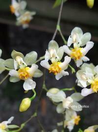 Oncidium Twinkle 'White'