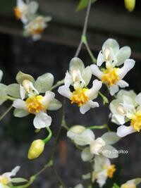 Oncidium Twinkle 'White'