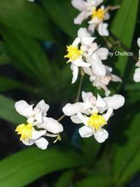 Oncidium Tsiku Marguerite
