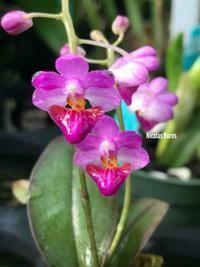 Phalaenopsis San Shia Appendo (appendiculata x pulcherrima)