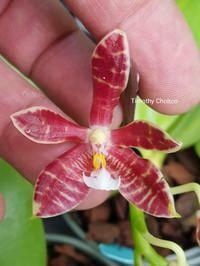 Phalaenopsis Mambo (mannii x amboinensis)
