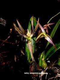 Sunipia angustipetala [Kew = Bulbophyllum angustipetalum]