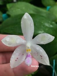 Phalaenopsis Li Sun High (mariae x tetraspis)