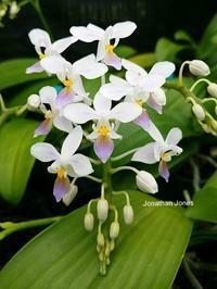 Phalaenopsis equestris f. cyanochilus [syn. f. coerulea]