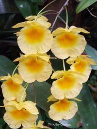 Dendrobium lindleyi [syn. Dendrobium aggregatum]